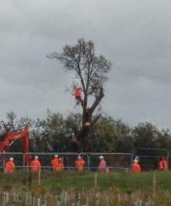 cubbington pear tree felled by hs2